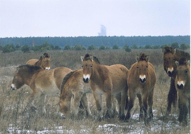 Horses_in_Chernobyl,_Ukraine
